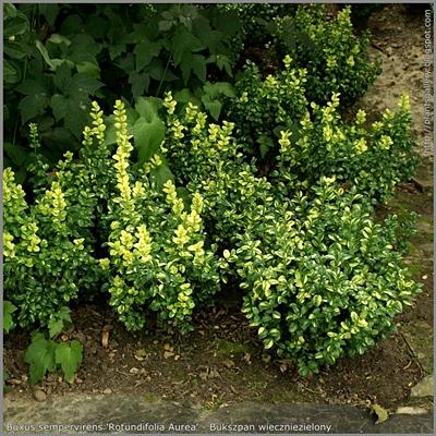 Buxus sempervirens 'Rotundifolia Aurea' Bukszpan wieczniezielony