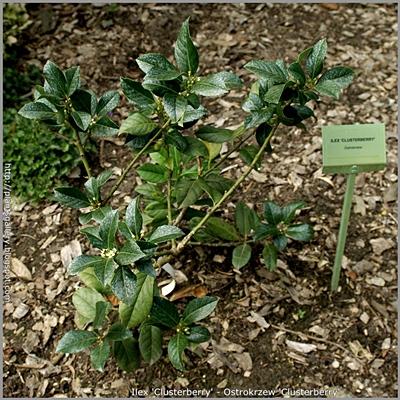 Ilex 'Clusterberry' - Ostrokrzew