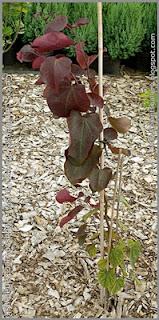 Cercis canadensis 'Forest Pansy' - Judaszowiec kanadyjski 'Forest Pansy'