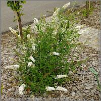 Buddleja davidii 'White Bouquet' - Budleja Dawida 'White Bouquet'  height=