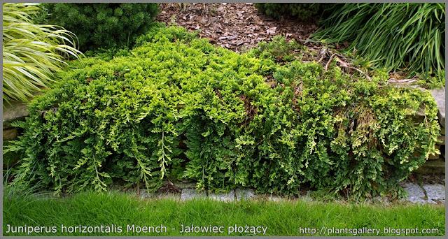 Juniperus horizontalis Moench - Jałowiec płożący