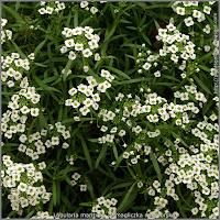 Lobularia maritima - Smagliczka nadmorska