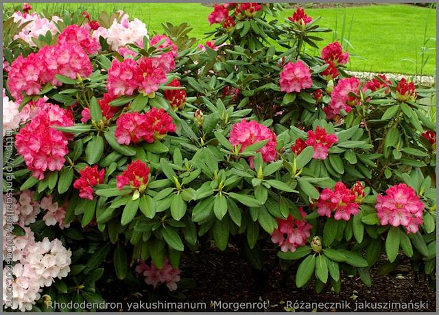 Rhododendron yakushimanum 'Morgenrot' -  Różanecznik jakuszimański 'Morgenrot'