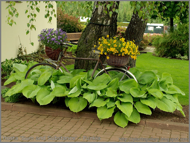 Hosta 'Sum and Substance' - Funkia 'Sum and Substance'