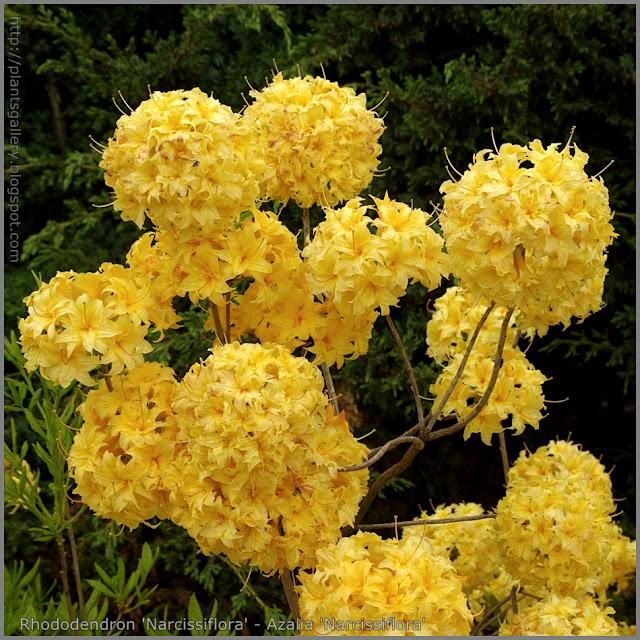 Rhododendron 'Narcissiflora' - Azalia  'Narcissiflora'
