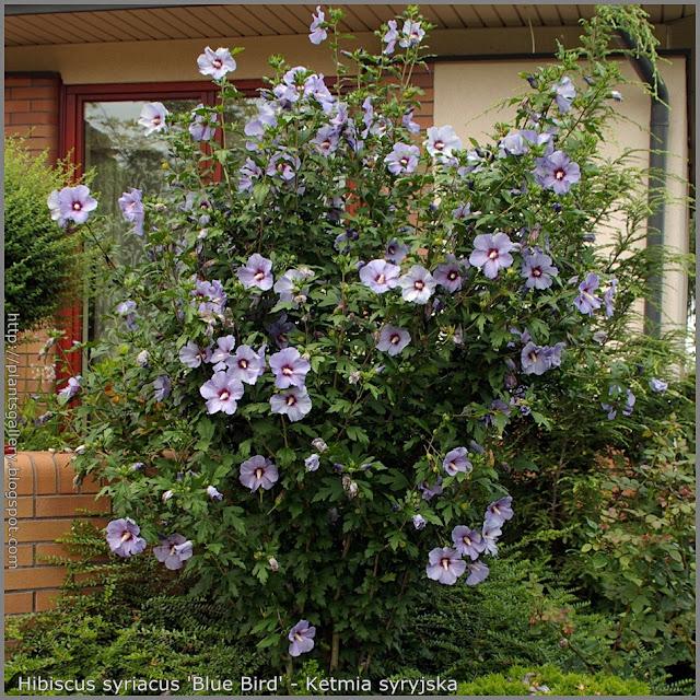 Hibiscus syriacus 'Blue Bird' - Ketmia syryjska 'Blue Bird'