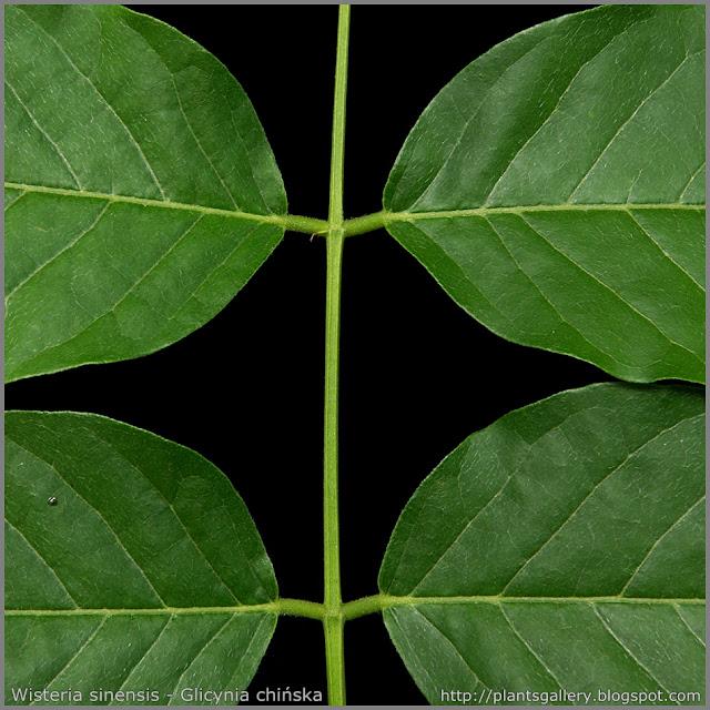 Wisteria sinensis - Glicynia chińska