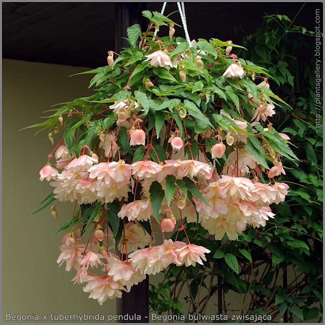 Begonia x tuberhybrida pendula - Begonia bulwiasta zwisająca