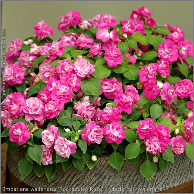 Impatiens walleriana 'Rockapulco Rose' - Niecierpek Waleriana 'Rockapulco Rose'