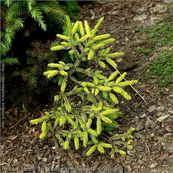 Picea abies 'Norrkoping' - Świerk pospolity