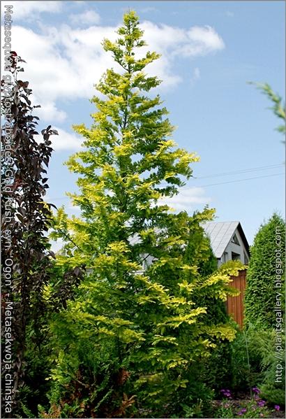Metasequoia glyptostroboides 'Gold Rush' syn. 'Ogon' - Metasekwoja chińska