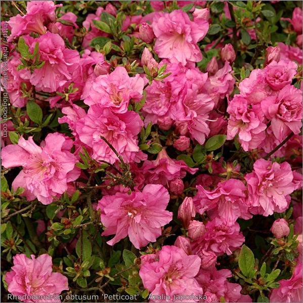 Rhododendron obtusum 'Petticoat' - Azalia japońska 'Petticoat'