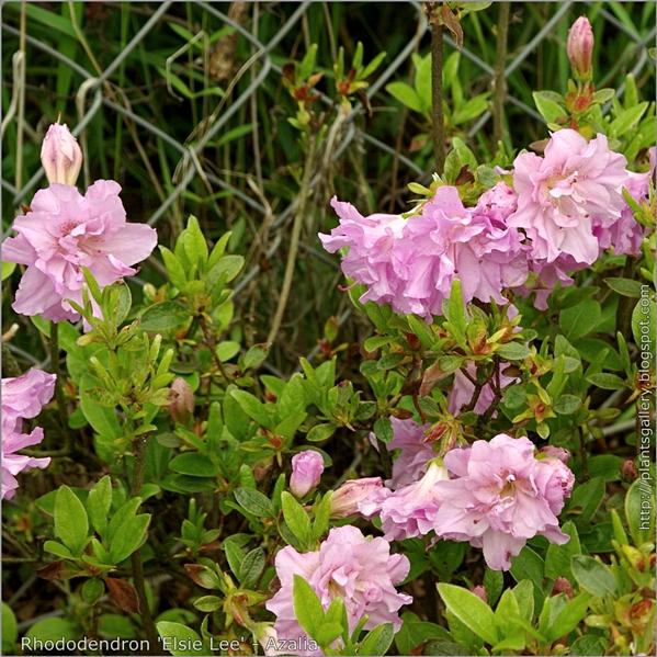 Rhododendron 'Elsie Lee' - Azalia 'Elsie Lee'