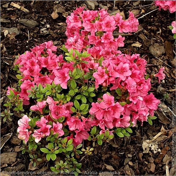Rhododendron obtusum 'Michiko' - Azalia japońska 'Michiko'