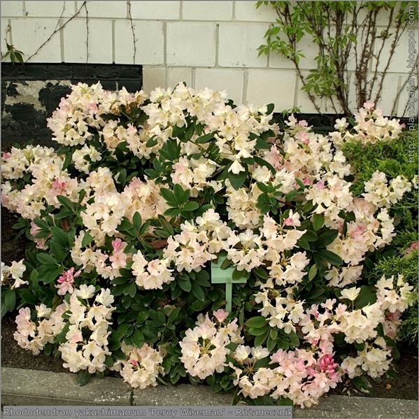 Rhododendron yakushimanum 'Percy Wiseman' - Różanecznik jakuszimański 'Percy Wiseman'
