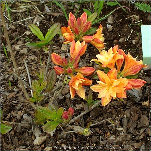 Rhododendron 'Csardas' - Azalia