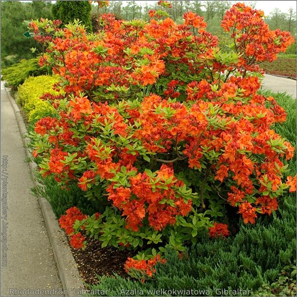 Rhododendron 'Gibraltar' - Azalia wielkokwiatowa  'Gibraltar'