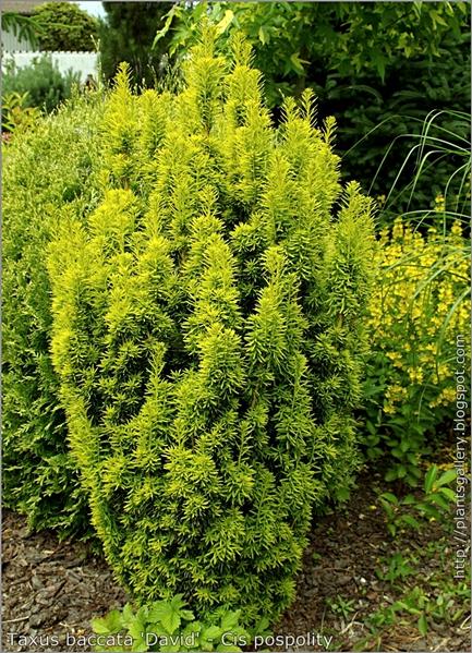 Taxus baccata 'David' - Cis pospolity