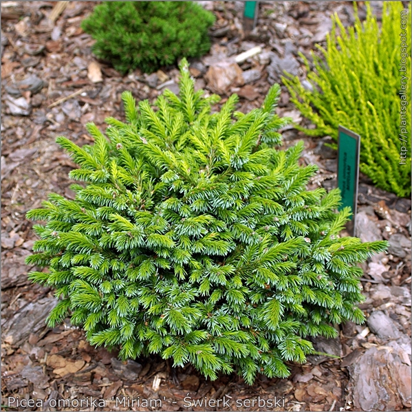 Picea omorika 'Miriam' - Świerk serbski
