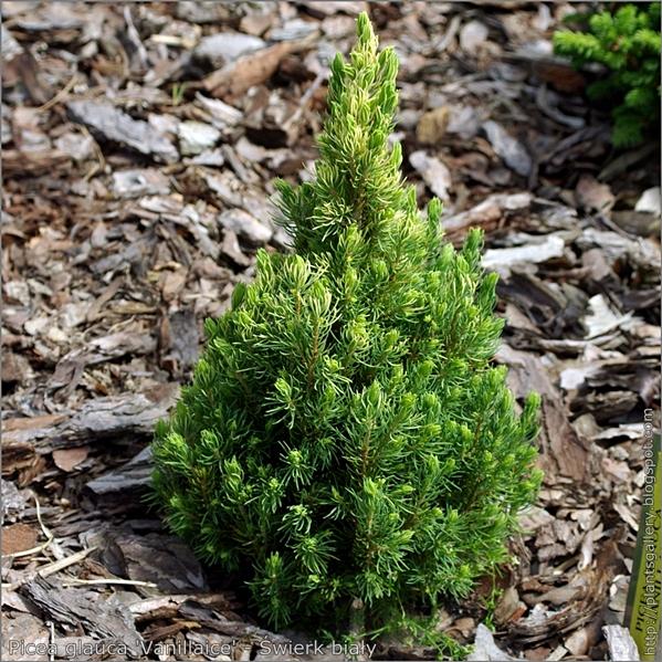 Picea glauca 'Vanillaice' - Świerk biały