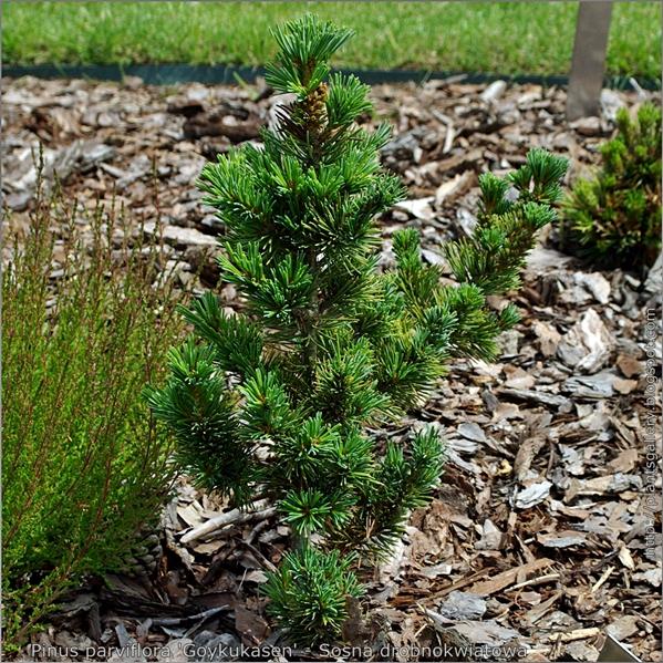 Pinus parviflora 'Goykukasen' - Sosna drobnokwiatowa