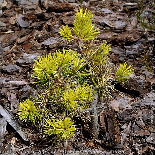 Pinus contorta 'Golden Striker' - Sosna wydmowa