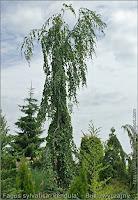 Fagus sylvatica 'Pendula' - Buk zwyczajny' buk pospolity