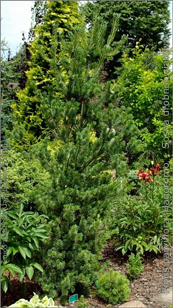 Pinus parviflora 'Hagoromo' - Sosna drobnokwiatowa