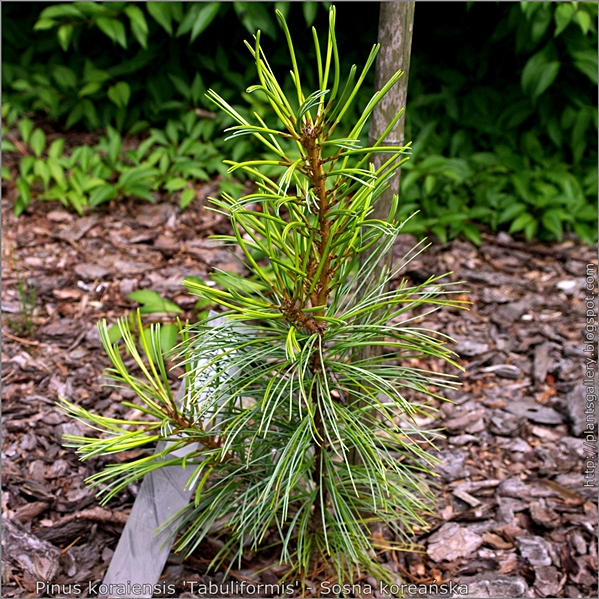Pinus koraiensis 'Tabuliformis' - Sosna koreańska