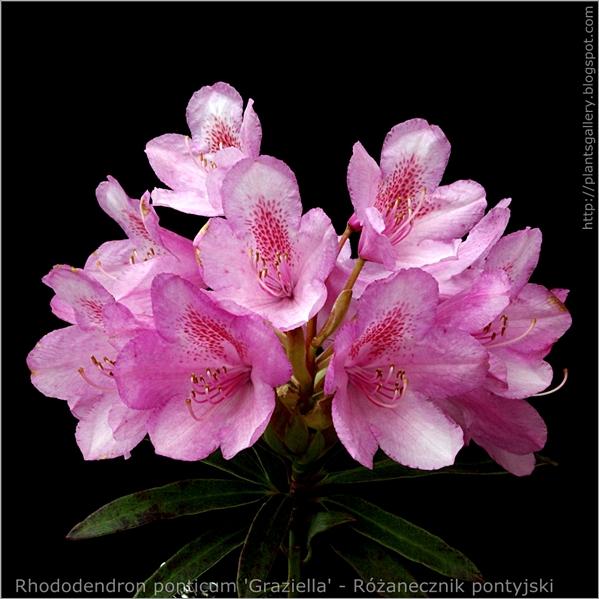 Rhododendron ponticum 'Graziella' - Różanecznik pontyjski