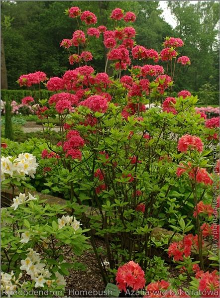 Rhododendron 'Homebush' - Azalia wielkokwiatowa