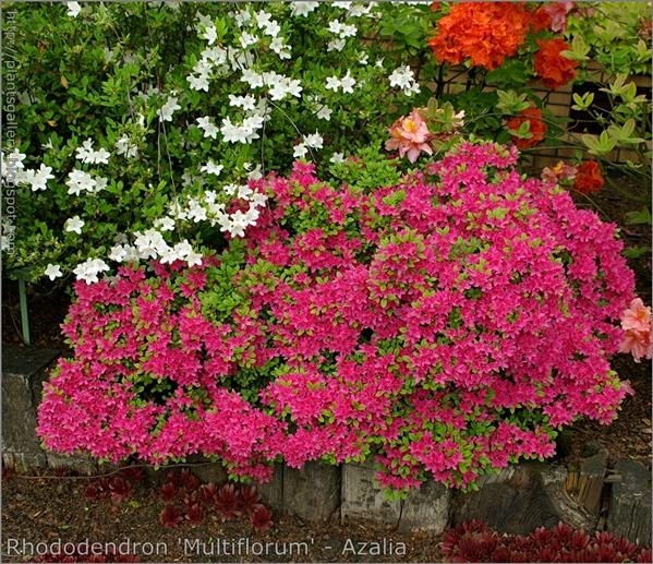 Rhododendron 'Multiflorum' - Azalia