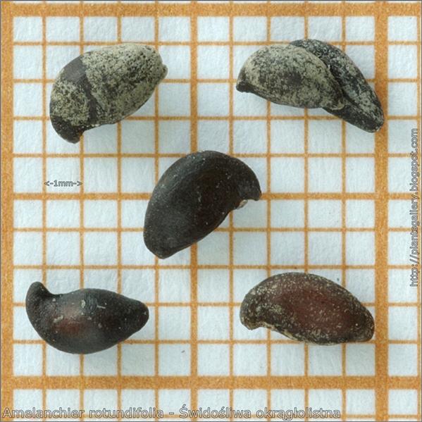 Amelanchier rotundifolia seeds - Świdośliwa okrągłolistna nasiona