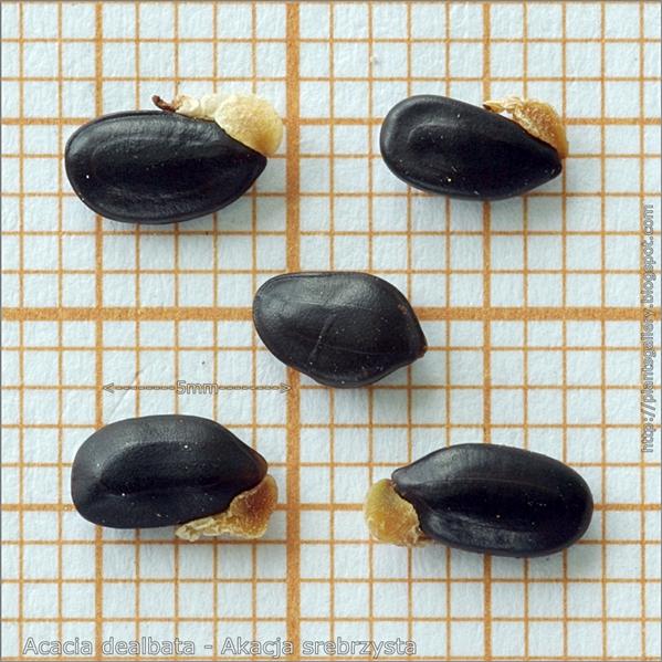 Acacia dealbata seeds - Akacja srebrzysta nasiona