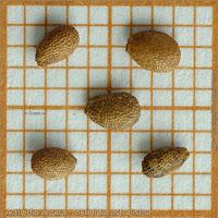Actinidia arguta seeds - Aktinidia ostrolistna nasiona