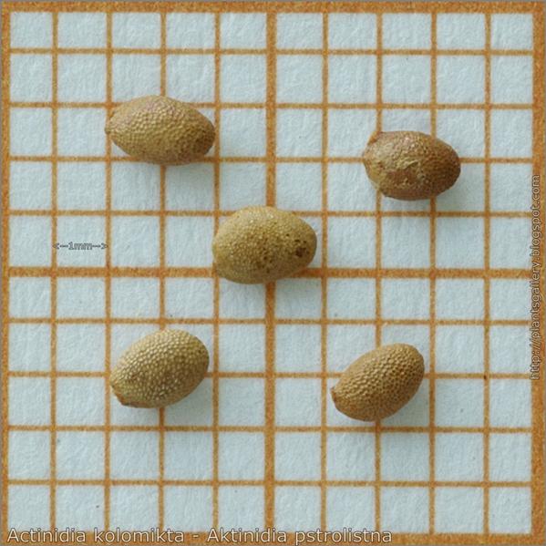 Actinidia kolomikta seed - Aktinidia pstrolistna nasiona