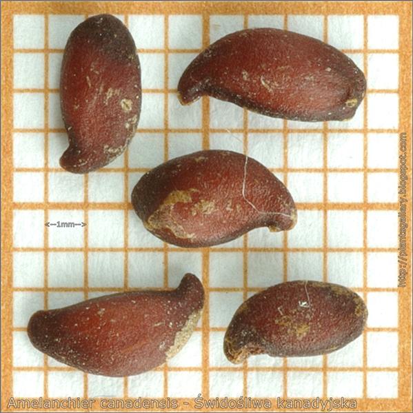Amelanchier canadensis seeds - Świdośliwa kanadyjska nasiona