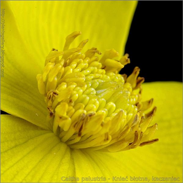 Caltha palustris flower - Knieć błotna, kaczeniec kwiat (detal)