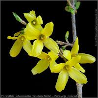Forsythia intermedia 'Golden Bells' flower - Forsycja pośrednia kwiaty