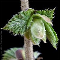 Corylus colurna bud - Leszczyna turecka pąk boczny