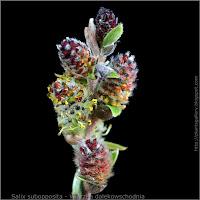 Salix subopposita flower - Wierzba dalekowschodnia kwiaty