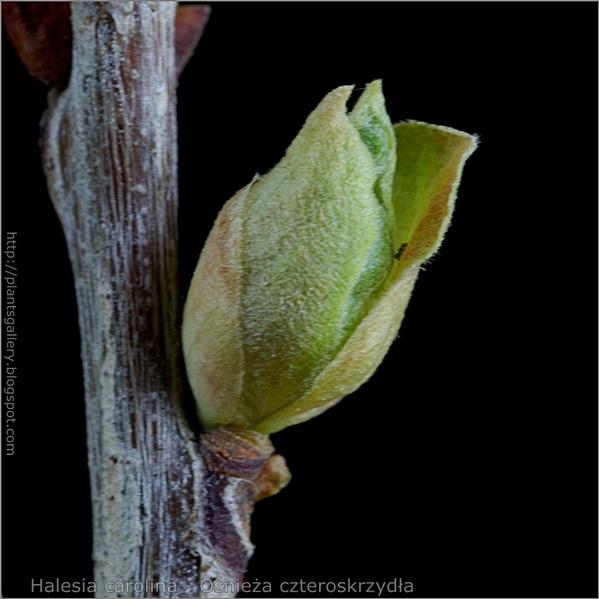 Halesia carolina leaf bud - Ośnieża czteroskrzydła boczny pąk liściowy