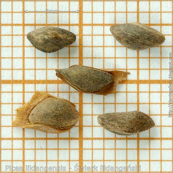 Picea likiangensis seeds - Świerk likiangeński nasiona