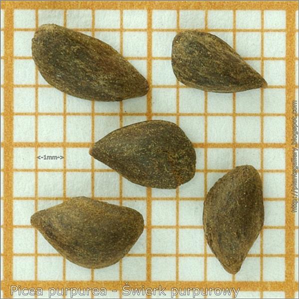 Picea purpurea seeds - Świerk purpurowy nasiona