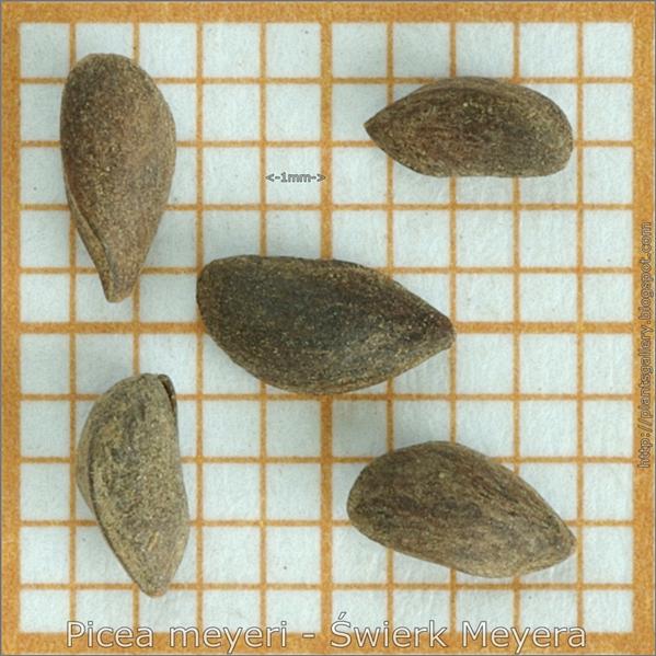 Picea meyeri seeds - Świerk Meyera nasiona