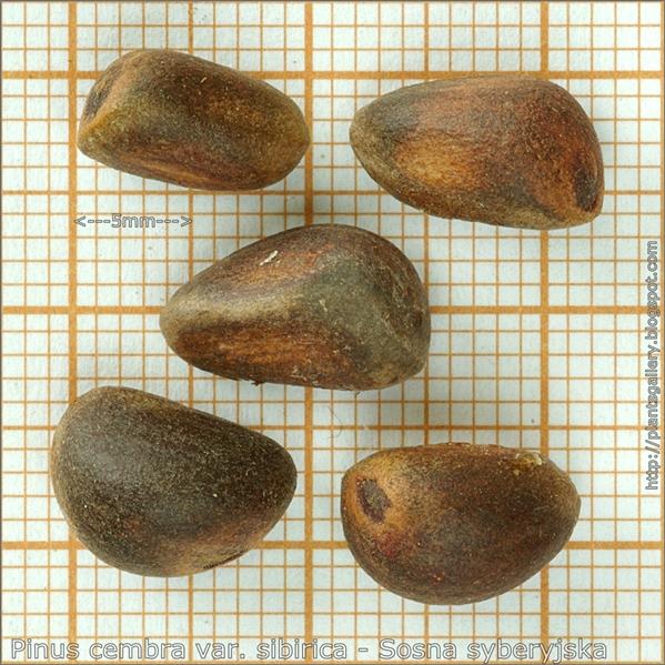 Pinus cembra var. sibirica seeds - Sosna syberyjska nasiona