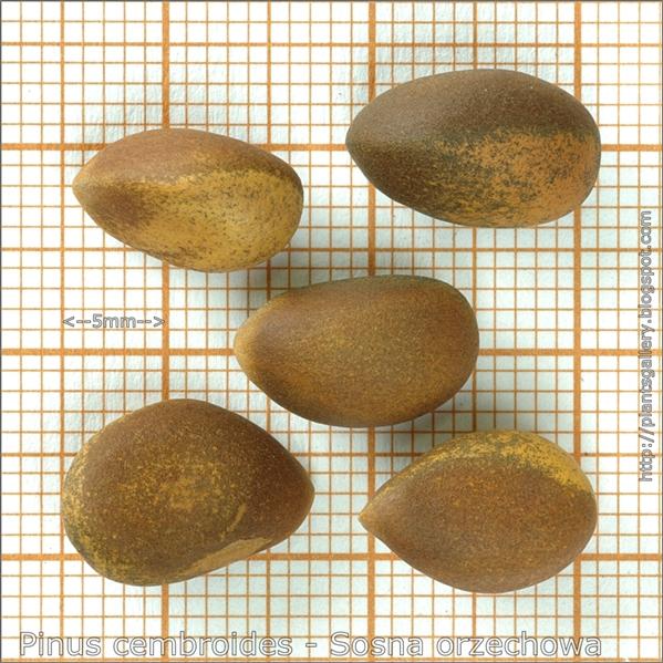 Pinus cembroides seeds - Sosna orzechowa nasiona