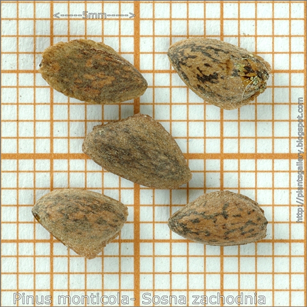 Pinus monticola seeds - Sosna zachodnia nasiona