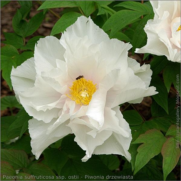 Paeonia suffruticosa ssp. ostii flower - Piwonia drzewiasta kwiat