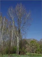 Populus tremula - Topola osika pokrój w stanie bezlistnym